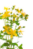 St. John's wort flowers — Stock Photo