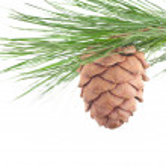 Cedar branch with cone — Stock Photo