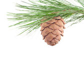 Cedar branch with cone — Stock Photo