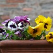Primroses in pot — Stock Photo #10065623
