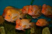 Tropical fish Cichlasoma citrinellum — Stock Photo