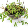 Green plant in hanging pot — Stock Photo