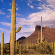 Cactus,panorama — Stock Photo #8223629