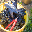 Bucket full with wine grapes — Stock Photo