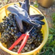 Bucket full with wine grapes - Stock Photo