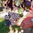 Collecting the best wine grapes — Stock Photo #8077912