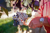 Collecting the best wine grapes — Stock Photo