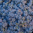 Bunch of blue grapes — Lizenzfreies Foto
