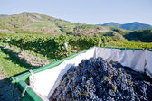 Tractor full with blue grapes — Stock Photo