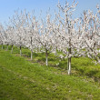 Cherry Trees in a row — Stock Photo