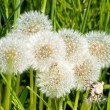 Stock Photo: Group of dandelion blowballs