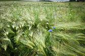 Fresh Cornfield in Spring — Stock Photo