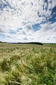 Cloudscape over cornfield — Stock Photo