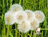 Group of dandelion blowballs — Stock Photo