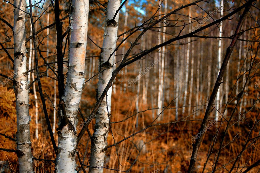 Birch trunks closeup, focus on the 3 trees in the foreground — Stock Photo #8794764