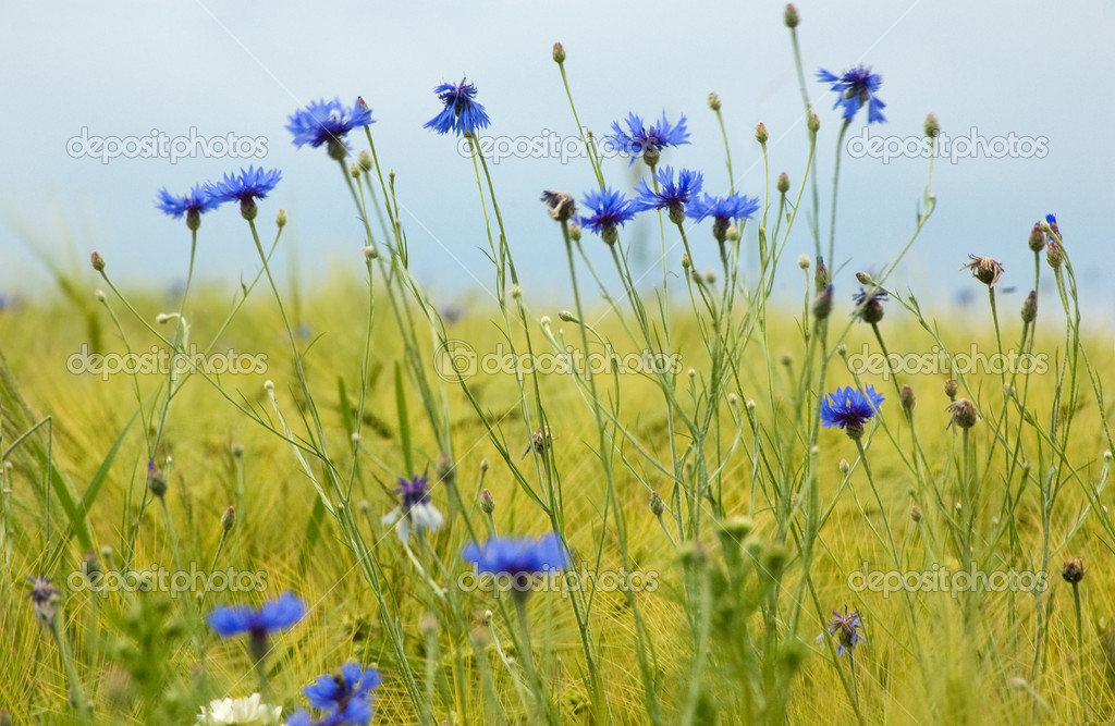 Blue corn flowers in a meadow in springtime — Stock Photo #8796867