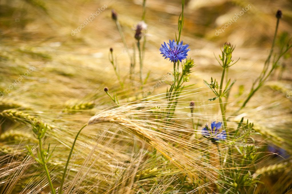 Blue cornflower in a field of golden grain — Stock Photo #8797025