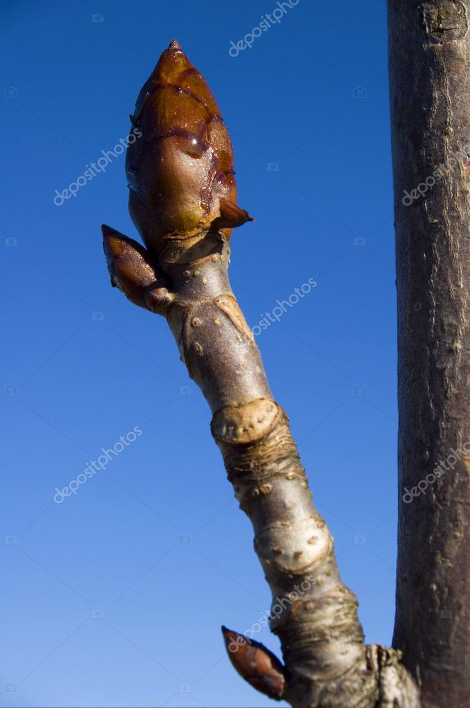 Close up bud of  tree at early spring — Stock Photo #8798116