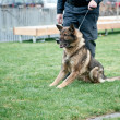 Foto Stock: Guard dog on leash
