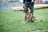 Guard dog on leash — Stock Photo