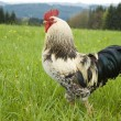 Stock Photo: One pride rooster