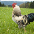 Stockfoto: One pride rooster