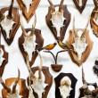 Deer head trophy collection — Stock Photo