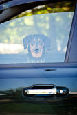 Dog in a car — Stock Photo