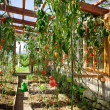 Stock Photo: Greenhouse with Tomatoes