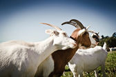 Two Goats snuggling — Stock Photo