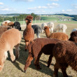 Alpaca Herd — Stock Photo