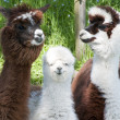 Stock Photo: Three different Alpacas
