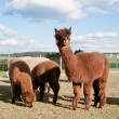 Stock Photo: Brown Alpacas