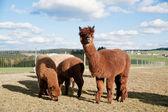 Brown Alpacas — Stock Photo