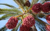 Dates on tree — Stock Photo