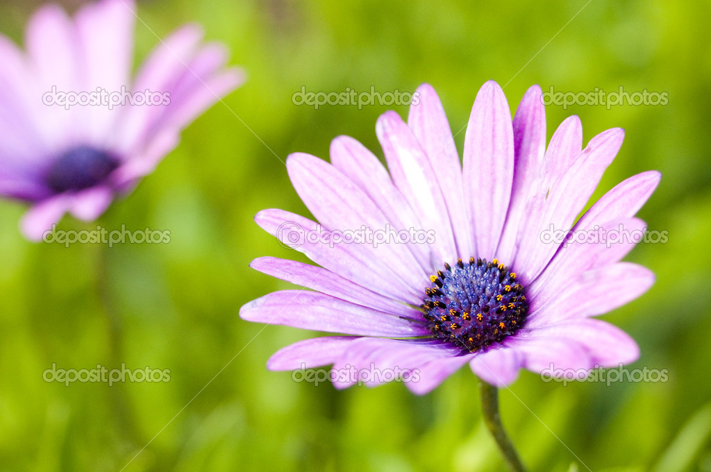 Two purplae Daisies on the field — Stock Photo #7971689