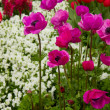 Colorful flowerbeds with anemones — Stock Photo