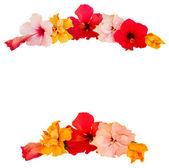 Cadre de fleur d'hibiscus — Photo