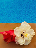 Hibiscus flower in by the pool with — Stock Photo
