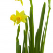 Bright daffodil flower - Stock Photo