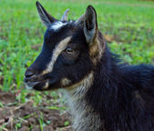 Little black goat — Stock Photo