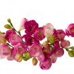 Pink freesias — Stock Photo
