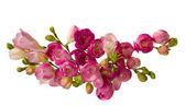 Pink freesias — Stock Photo