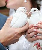 Two wedding pigeons — Stock Photo