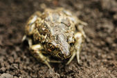 Earthen frog .Close up. — Stock Photo