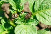 Two colorado potato beetle on a leaf — Foto de Stock
