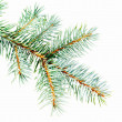 Stock Photo: Blue Spruce - Picea pungens branch isolated on white background, great for