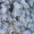 Blue Spruce  branch  background — Stock Photo