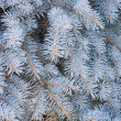 Stock Photo: Blue Spruce branch background