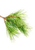 Pine branch on a white background — Stock Photo
